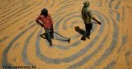 Trabalhadores secando o milho ao sol