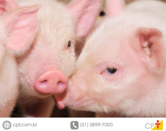 O bem-estar dos suínos promove carne de qualidade superior, aumento de produção e crescimento nas vendas