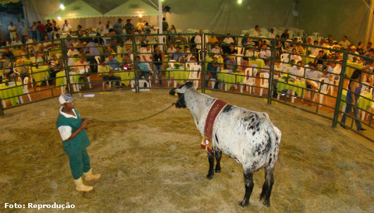 Foto de uma vaca sendo exposta no leilão