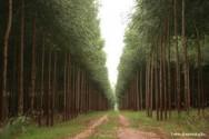 Plantação de eucalipto - como fazer a limpeza da área