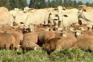 O uso de alternância ou rotação de pastagens tem como vantagem um melhor controle sobre parasitas, principalmente os endoparasitas que atacam os cordeiros.
