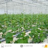 Plantação de Pepino em estufas - principais pragas e doenças