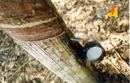 Doenças da Seringueira - Secamento do Painel ou Brown Bast