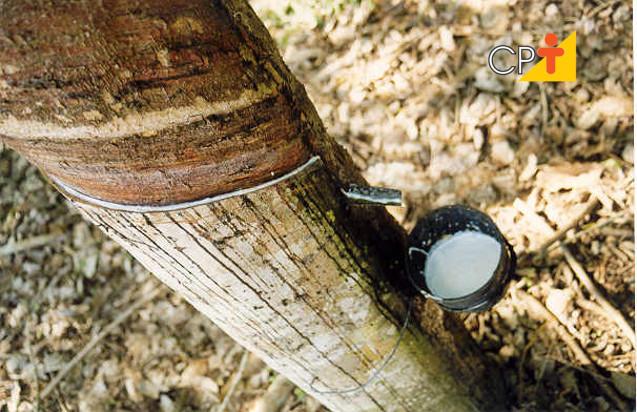 Seringueira borracha