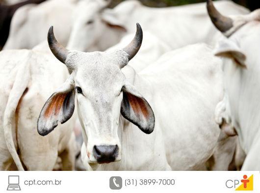 gado de corte em confinamento