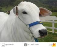 Adaptação alimentar do gado em confinamento