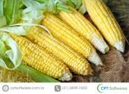 Principais pragas do milho
