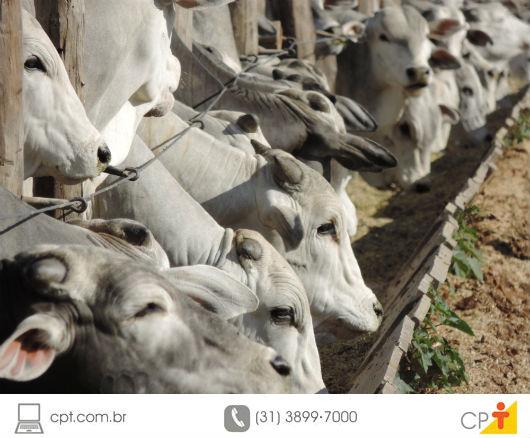 bovinos confinados para o abate sendo alimentados