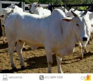 Timpanismo em bovinos de corte