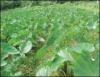 Cultivo orgânico de gengibre, taro e inhame proporciona satisfação ao produtor