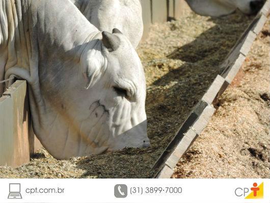 gado de corte sendo alimentado com ração balanceada