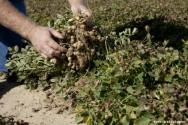 Cultivo de amendoim - saiba mais sobre a secagem artificial