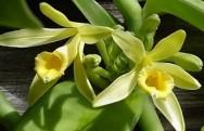 A orquídea mais importante para a indústria é a baunilha, largamente utilizada na aromatização de bolos, sorvetes, balas e doces.