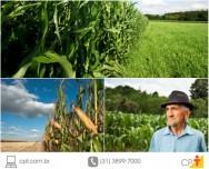 Saiba as melhores épocas para plantar milho