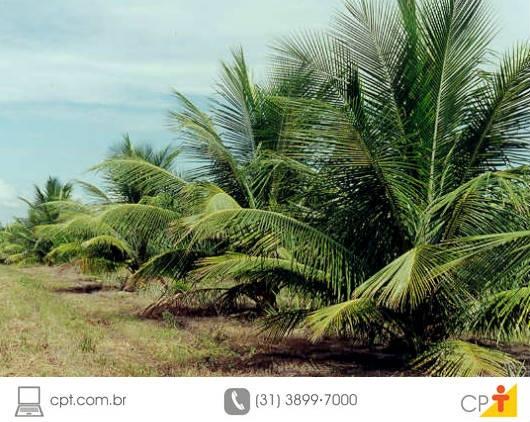 Produção de coco anão