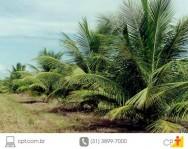 Coqueiro anão: solo e clima aumentam a lucratividade da cultura