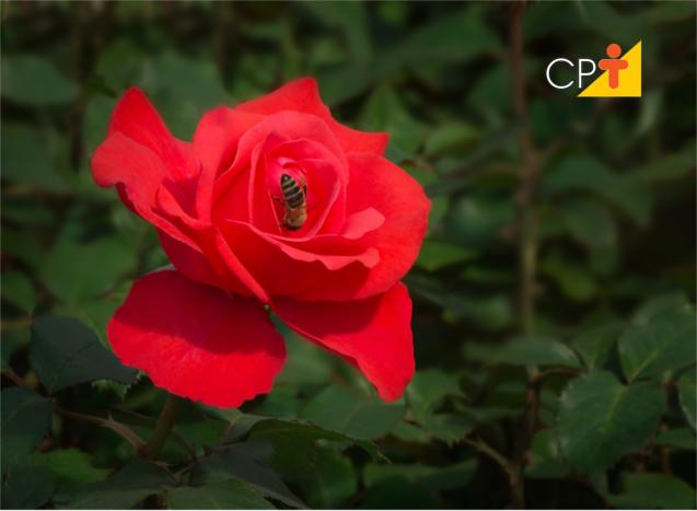 Conservar rosas