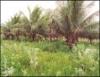 Cultivo orgânico de coco é sustentável e rentável