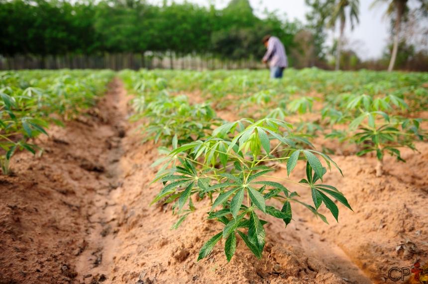 Como plantar mandioca - conheça o passo a passo   Artigos CPT