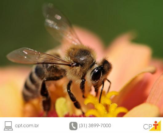 foto de uma abelha adulta