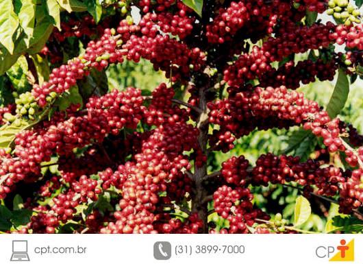 Regiões acima de 800 m, frio e vento intensos, bem como umidade relativa elevada, são fatores propícios para a ocorrência da Mancha-de-Phoma do cafeeiro