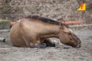 Cólicas em cavalos - saiba mais sobre cada uma delas