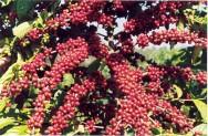 Nos cultivos que estão na fase de produção, a análise foliar fornece indicações sobre o estado nutricional das plantas.