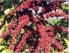 Tratos culturais que mais contribuem para a produtividade do café conilon
