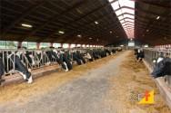 Estábulos confortáveis melhoram a produtividade de vacas leiteiras