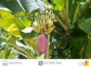 Controle da larva da broca-da-bananeira é fundamental
