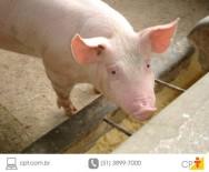 Porcos são alimentados com sobras da fabricação de queijo