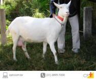 Agricultura familiar: criação de cabras leiteiras