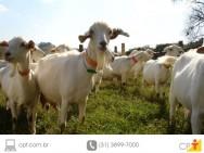 Cabras - saiba tudo sobre elas e como criá-las