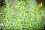 Vassourinha Verde - de planta invasora à planta de cultivo