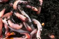 Criação de minhocas para a produção de húmus em pequenas propriedades