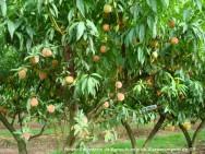 Praga do pessegueiro: controle da mosca-das-frutas