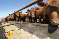 Farelos usados na alimentação do gado leiteiro