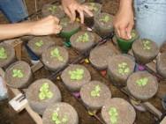 O desbaste  é importante não apenas na semeadura direta, mas também em sementeiras e  recipientes.