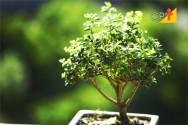 Bonsai - aprenda a cuidar em 8 dicas