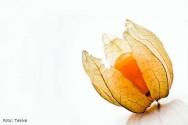 10 dicas fáceis para cultivar physalis