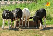 Quando e por que desmamar as bezerras de leite?