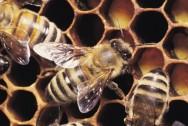 Os produtos das abelhas são inúmeros, começando pelo mel, passando pelo própolis, a geleia real, pólen e a apitoxina.