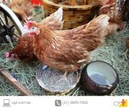 Ração para galinha caipira poedeira - aprenda a fazer