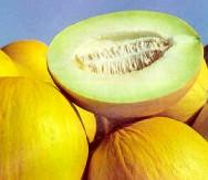 O plantio do melão, no Nordeste, pode ser realizado durante todo o ano.