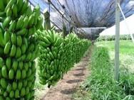 Image result for plantação de banana