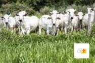 Criadores de bovinos do MT aumentaram a produtividade em 68,8%