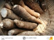 Mandiocas biofortificadas - mais nutritivas e produtivas