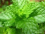 4 dicas para cultivar hortelã em vasos