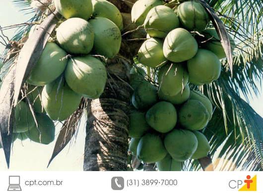8 dicas para adubação do coqueiro