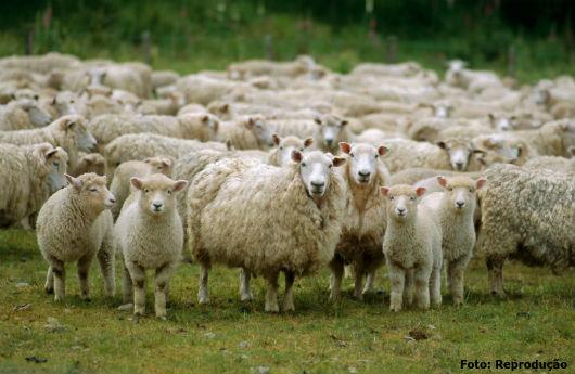 Resultado de imagem para foto de ovinos